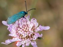 Makro eines Schmetterlinges: Adscita-statices Lizenzfreies Stockbild
