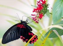 Makro eines Schmetterlinges: Papilio-rumanzovia lizenzfreies stockfoto