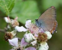 Makro eines Schmetterlinges: Satyrium-ilicis Stockbild