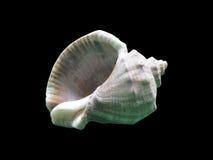 Makro einzelne Muschel, lokalisiert auf Schwarzem Lizenzfreie Stockfotografie