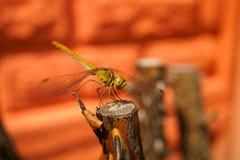 Makro erstaunliche Libelle Lizenzfreies Stockbild