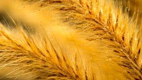 Makro för blomma för Foxtailgräs Royaltyfri Fotografi