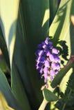 Makro för blommor för druvahyacint purpurfärgad royaltyfri foto