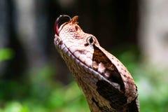 Makro för Gaboon huggorm som äter en tjalla Royaltyfria Bilder