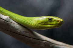 Makro för grön mamba Fotografering för Bildbyråer