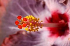 Makro för hibiskusblommamortelstöt arkivbild