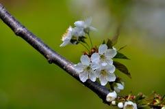 Makro för körsbärsröd blomning Arkivfoto