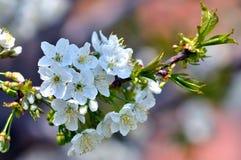 Makro för körsbärsröd blomning Arkivbilder