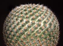 Makro för kaktus för Lobivia famatimensis klotformig, mot en svart bakgrund Royaltyfri Foto