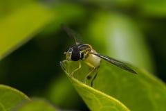 Makro för kryp för Episyrphus belteatus hoverfly royaltyfri foto
