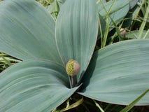 Makro för lökar för Alliumknopp dekorativ Fotografering för Bildbyråer