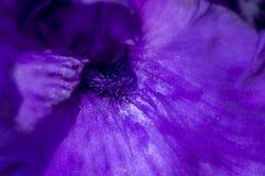 Makro för lilaflaggairis royaltyfri bild