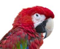 Makro för stående för papegojafågelara fotografering för bildbyråer