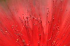 Makro för växt för flaskborste Royaltyfri Fotografi