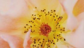 Makro för växtrosapelsin Royaltyfri Foto
