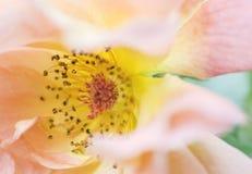 Makro för växtrosapelsin Royaltyfria Foton