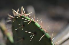 Makro för visare för kaktus för taggigt päron (Opuntiapolyacantha) arkivbild
