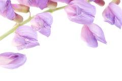 Makro- fiołkowy kwiat zdjęcia stock