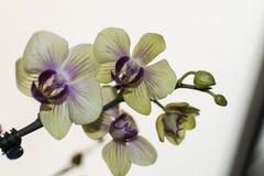 Makro- fotografia żółta orchidea obrazy royalty free