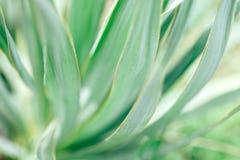 Makro- fotografia agawa liście Fotografia Stock