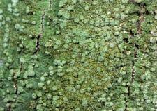 Makro- fotografia Crustose liszaj na Drzewnej barkentynie zdjęcie royalty free