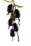Makro- fotografia dojrzały, soczysty czarny rodzynek z liśćmi, odizolowywającymi na białym tle Smakowity i zdrowy czarny rodzynek Zdjęcie Stock