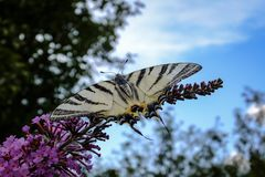 Makro- fotografia dymówka ogonu Iphiclides podalirius motyl na kwiatonośnym krzaku Buddleja davidii zdjęcia royalty free