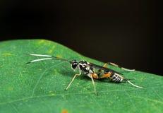 Makro- fotografia gąsienicznik osa z Czarny I Biały Antennae na G fotografia stock