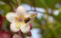 Makro- fotografia Hoverfly na pięknym białym i różowym kwiacie obraz royalty free