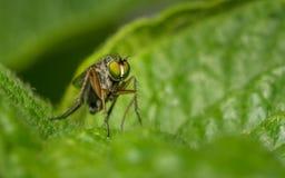 Makro- fotografia insekt, Dolichopodidae, komarnica Zdjęcie Stock