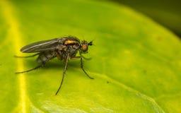 Makro- fotografia insekt, Dolichopodidae, komarnica Zdjęcie Royalty Free