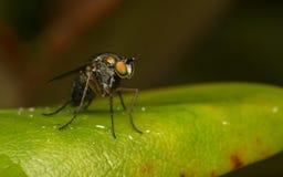Makro- fotografia insekt, Dolichopodidae, komarnica Zdjęcia Royalty Free
