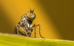 Makro- fotografia insekt, Dolichopodidae komarnica Zdjęcia Royalty Free