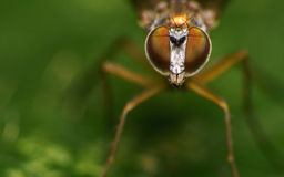 Makro- fotografia insekt, Dolichopodidae komarnica Zdjęcie Stock