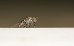 Makro- fotografia insekt, Dolichopodidae komarnica Obraz Stock