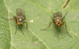 Makro- fotografia insekt, Dolichopodidae komarnica Zdjęcia Stock