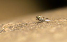 Makro- fotografia insekt, Dolichopodidae komarnica Fotografia Royalty Free