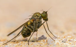 Makro- fotografia insekt, Dolichopodidae komarnica Fotografia Stock