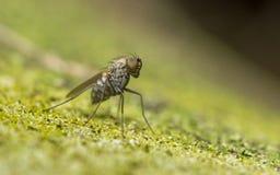 Makro- fotografia insekt, Dolichopodidae komarnica obrazy stock