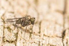 Makro- fotografia insekt, Dolichopodidae komarnica obraz royalty free