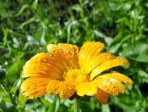 Makro- fotografia jaskrawego lata żółty calendula z rosą obraz royalty free