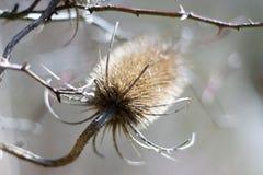Makro- fotografia kłująca roślina Fotografia Royalty Free