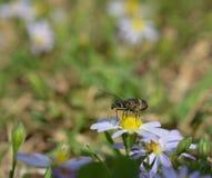 Makro- fotografia kwiat komarnica na małe stokrotki obrazy stock