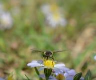 Makro- fotografia kwiat komarnica na małe stokrotki zdjęcie royalty free