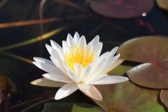 Makro- fotografia lotosowy kwiat ja może być projektem twój projekt grafika Zdjęcia Stock