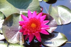 Makro- fotografia lotosowy kwiat ja może być projektem twój projekt grafika Zdjęcie Stock