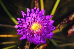Makro- fotografia lotosowy kwiat ja może być projektem twój projekt grafika Fotografia Stock