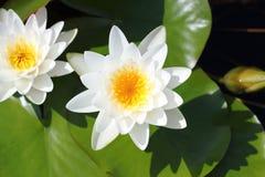 Makro- fotografia lotosowy kwiat ja może być projektem twój projekt grafika Obrazy Royalty Free