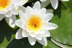 Makro- fotografia lotosowy kwiat z pszczołami ja może być projektem twój projekt grafika Zdjęcie Stock