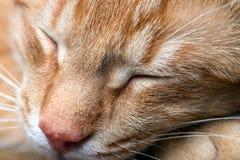 Makro- fotografia młoda czerwień paskował sypialnego kota Zdjęcie Stock
